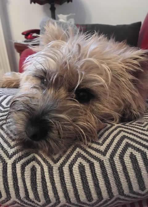 cairn terrier at Brannock Vets